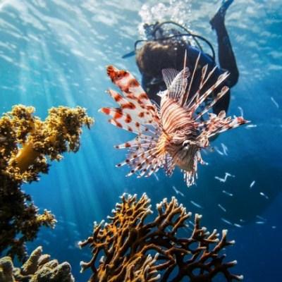 lion fish in cuba