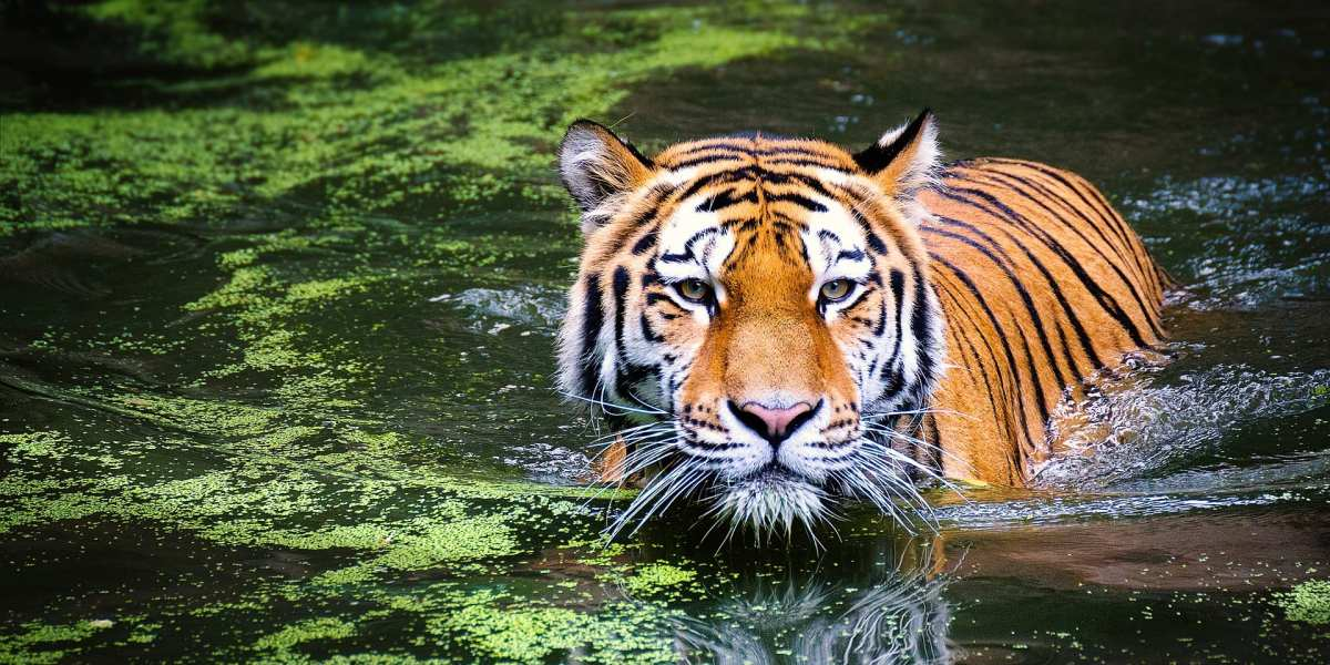 Wild tiger © | Pixabay