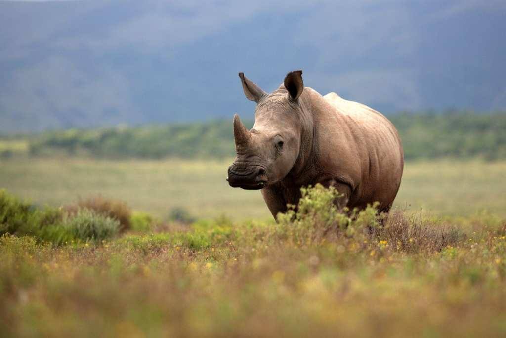 South Africa's Rhino © | Jonathan Pledge/Shutterstock