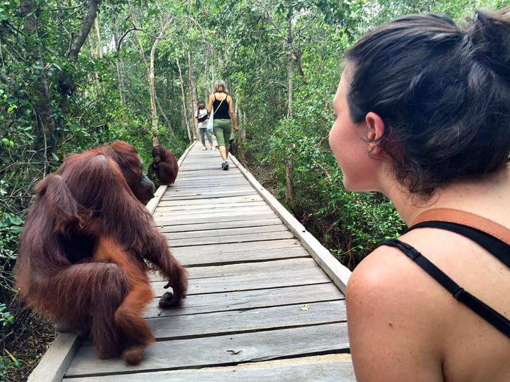 Wild Orangutans walk on a boardwalk at Camp Leakey in Borneo |© Nikki Vargas