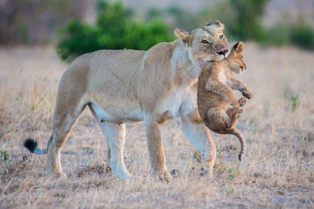 A lioness and her cub in Tanzania | © Photo courtesy of Julia Cumes