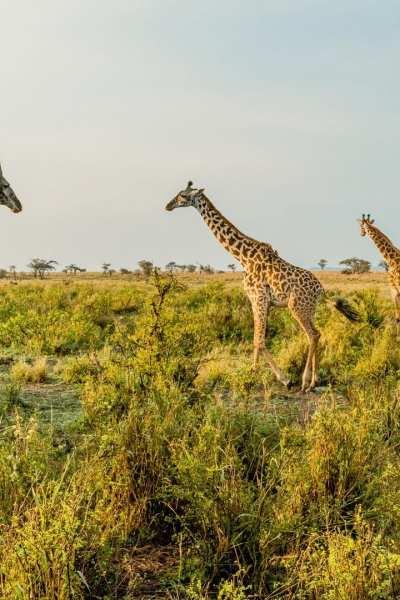 A hot air balloon floats over the Serengeti in Tanzania | © Shutterstock