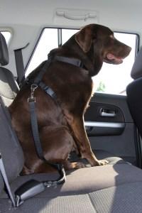 Wenn man seinen Hund im Auto transportiert, muss man ihn unbedingt richtig sichern. Foto ARCD.