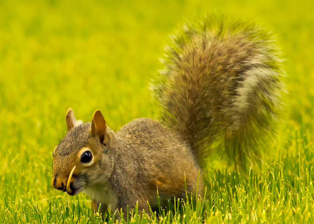 Snaggletooth Squirrel in Grass