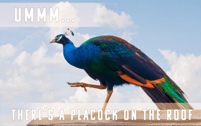 A Peacock Loose In The Neighborhood