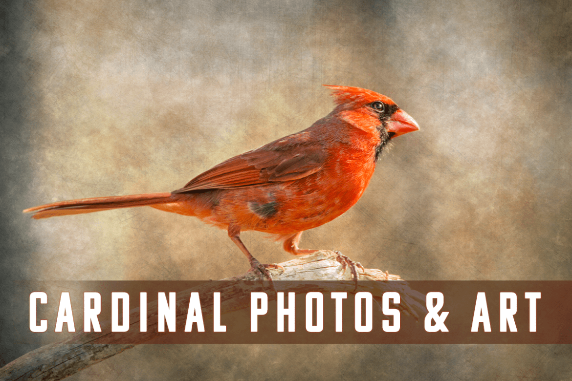 Cardinal Art and Photos - Cardinal Photography