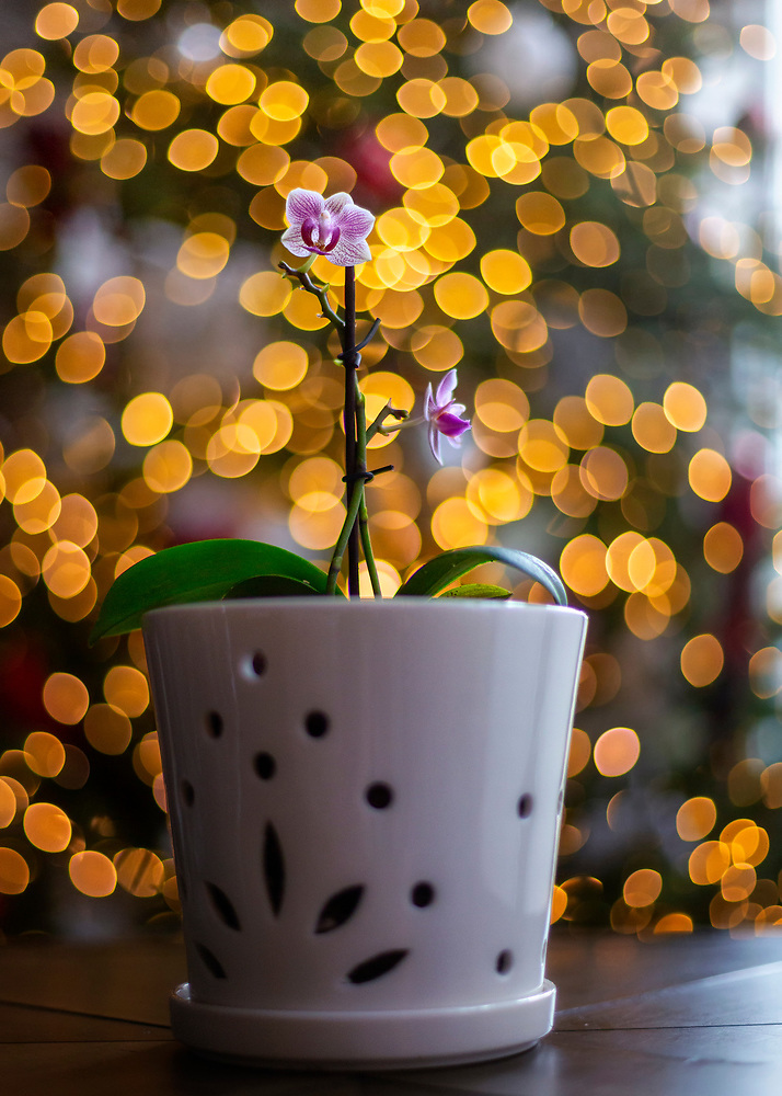 Orchid with Christmas Lighting