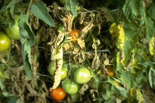 DARREL KOEHLER: The Prairie Gardener — Tomatoes And Blight