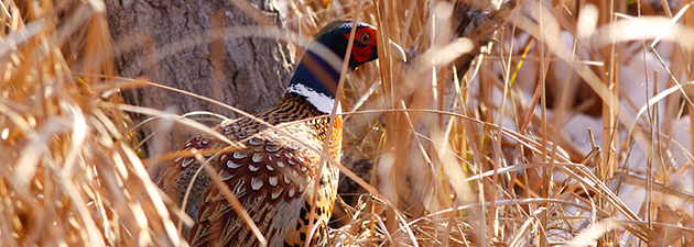 JIM FUGLIE: View From The Prairie — What Color Is A Pheasant?