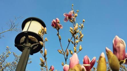 March 8: The magnolia bloom, Rawlins Park, downtown Washington, D.C.