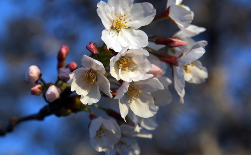 JEFF OLSON: Photo Gallery — Cherry Blossom Festival