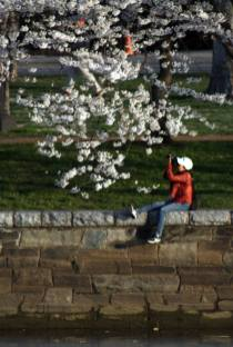 Cherry blossoms at Tidal Basin.