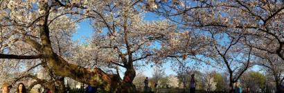 You want to look up at the cherry blossoms but be careful not to walk into a tree or the Tidal Basin.