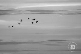 October 4: Graphic geese in flight.