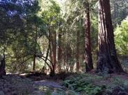 Big trees of Muir Woods National Monument.