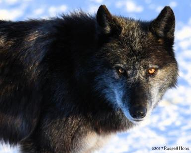RUSS HONS: Photo Gallery — Gray Wolves Of Red River Zoo – UNHERALDED