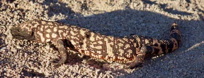 My first gila monster! About 18 inches from nose to tail.