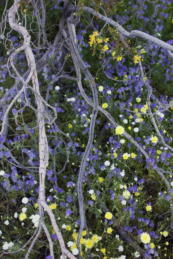 March 13: The desert wildflower superbloom, a once in 20- to 30-year event, is in full swing at Anza Borrego State Park in Southern Calif