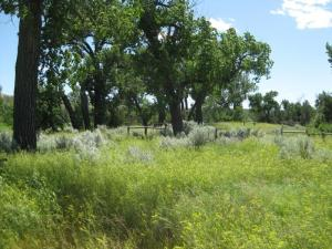 Lush prairie grasses and sages blanket the ground where the Elkhorn Ranch house once stood (within the fenced off area) beneath the towering cottonwood trees. Roosevelt, sitting on his porch, would have seen the swift water of the Little Missouri River rush by just beyond those trees (since T.R.'s time, the river has meandered further from the trees.)