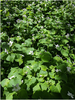 LILLIAN CROOK: WildDakotaWoman — Wild Violets