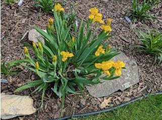 Cache of Gold Iris.