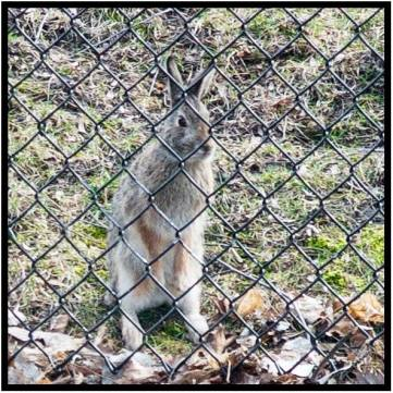 "March 29: March 29: ""Dammit, Dave Vorland has been feeding squirrels with stale French bread. But what about the bunnies who can't get through this fence?"" (Actually, they DO get in via another route when Dorette's garden comes up. She live traps them and transports them free of charge to a nature preserve several miles away)."