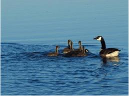Canada goose family.