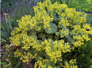 Lady's Mantle in full bloom, with lavender in the background.