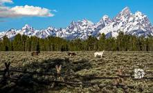 "June 24: ""Wyoming Teton Valley Scenics."" Wild horses in the park."