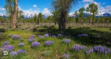 "June 19: ""Wyoming Mountain Floral"": Forest floor covered in these purple lupines with the Tetons in the background."