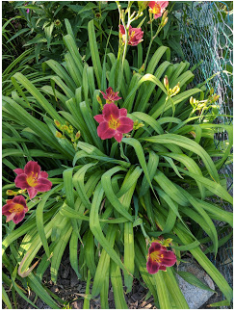 Siloam Red Ruby Daylily.