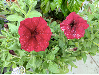 Good old Petunias.
