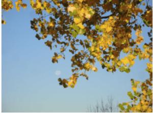 Full moon setting, dawn, autumn cottonwood, TRNP North Unit.