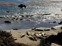 """Pacific Ocean Elephant Seal """"rookery,"""" just four miles from Hearst Castle in San Simeon."""