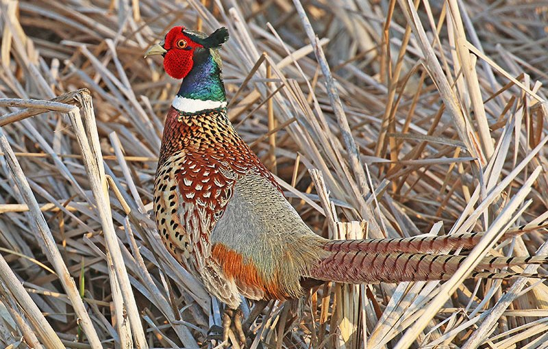 JIM FUGLIE: View From The Prairie — The Cry Of The Pheasant