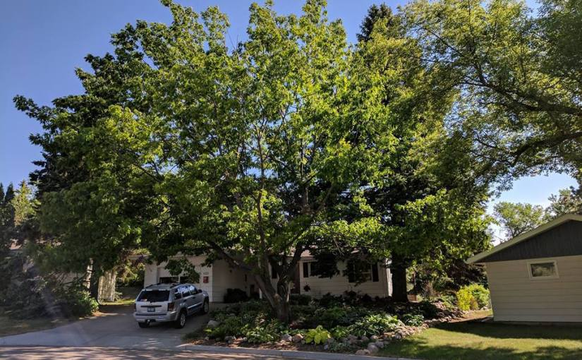 JIM FUGLIE: View From The Prairie — A State Champion Tree—In Our Yard!