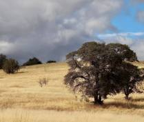 At 4,500 feet, you start to see oak savannah like this, my favorite scenery in the world. This is a live oak, a type that does not drop its leaves.