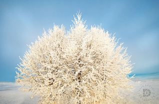 A very frosted group of trees being highlighted by the early morning sun.