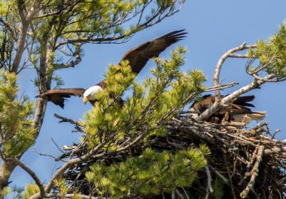 Leaving the nest to go on the hunt for food.