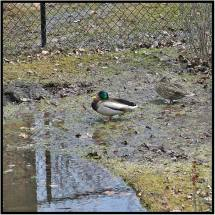 April 24: This pair of mallards has been enjoying the snowmelt in our backyard in Bloomington, Minn.