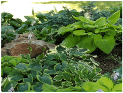 The rock in the center is about 4 feet by 3 feet, which gives perspective to the huge hosta to the right of it, Sum and Substance.