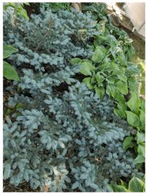 Dwarf Blue Spruce.
