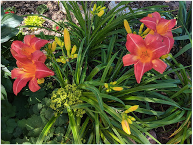 LILLIAN CROOK: WildDakotaWoman — Red Oak House Garden Notes No. 44: Daylilies, Daylilies, Dayliles … And A Bunch Of Voles