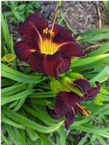 Dominic daylily.