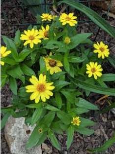 Profusion Yellow zinnias that survived the slugs.