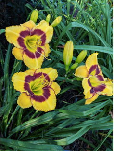 Rock Around the Clock daylily.