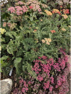 The autumn blooms of sedum and yarrow.