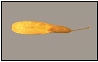 Winged samara (seed) of the green ash tree