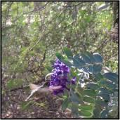 Arizona hummingbird.