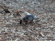 Santa Cruz Island fox.